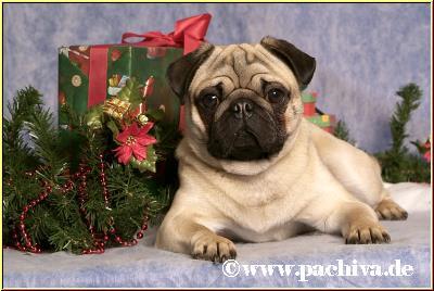 Mops Bilder Weihnachten.Mopstreffen 2005 Eine Ausgelassene Mopsfamilie
